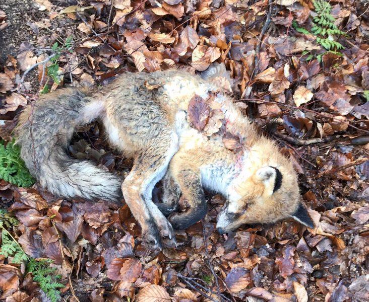 Die Jagdpächter informieren: Staupe und Räude bei Füchsen – Gefahr auch für Hund und Katze